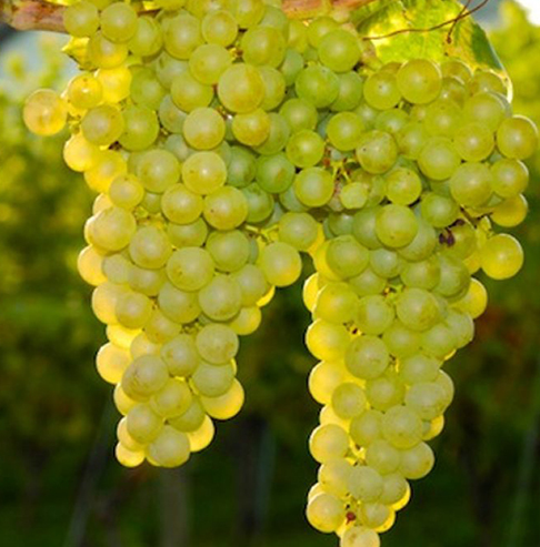 Sauvignon Blanc 0